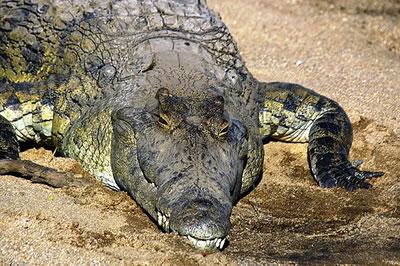 nilecrocodile4.jpg